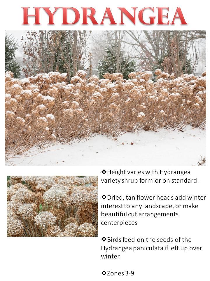 Winter- Hydrangea.jpg