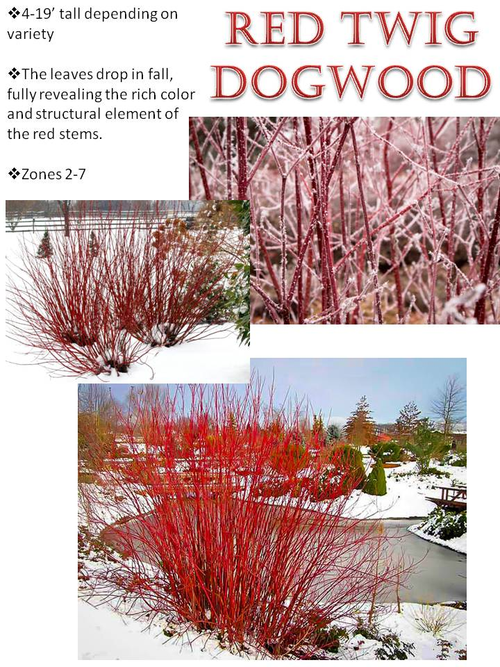 Winter- Red Twig Dogwood.jpg