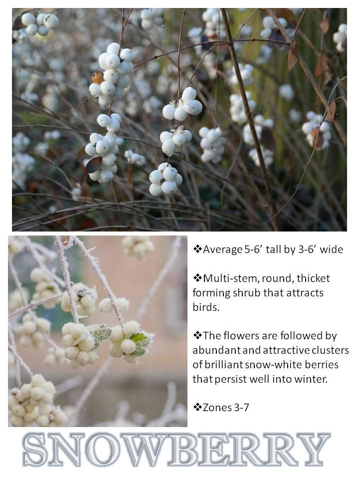 Winter- Snowberry.jpg