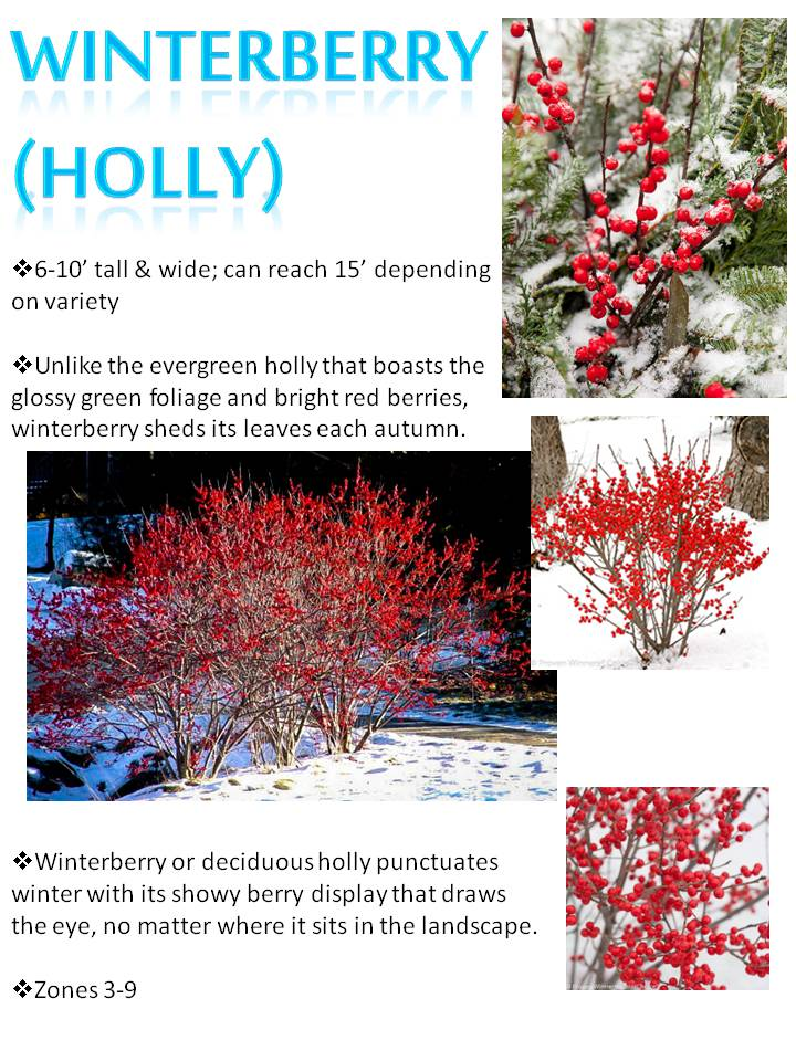 Winter- Winterberry (Holly).jpg