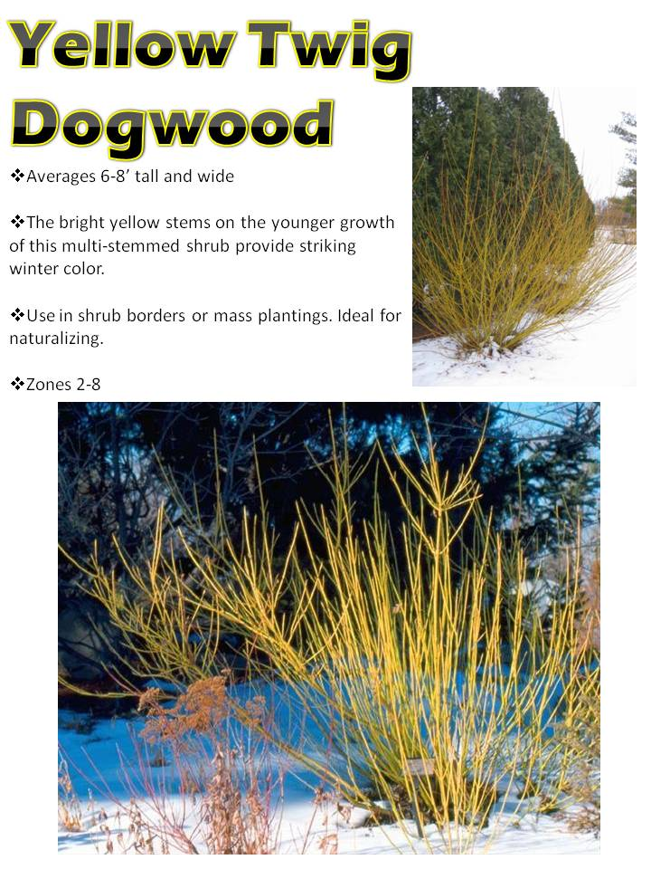 Winter- Yellow Twig Dogwood.jpg