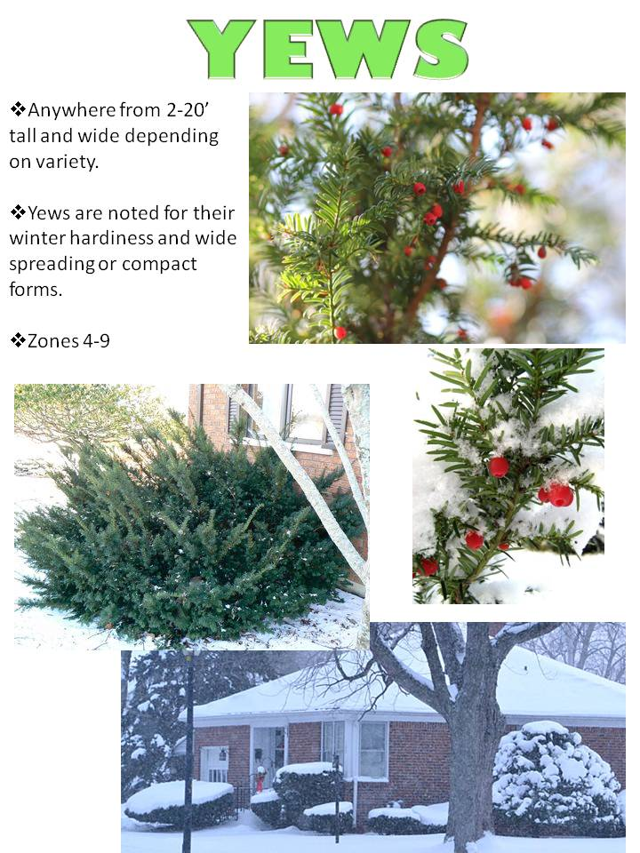 Winter- Yews.jpg