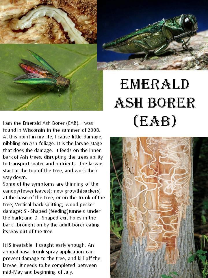 Emerald Ash Borer (EAB).jpg