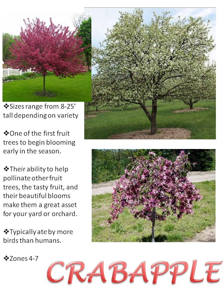 Spring- Crabapple.jpg