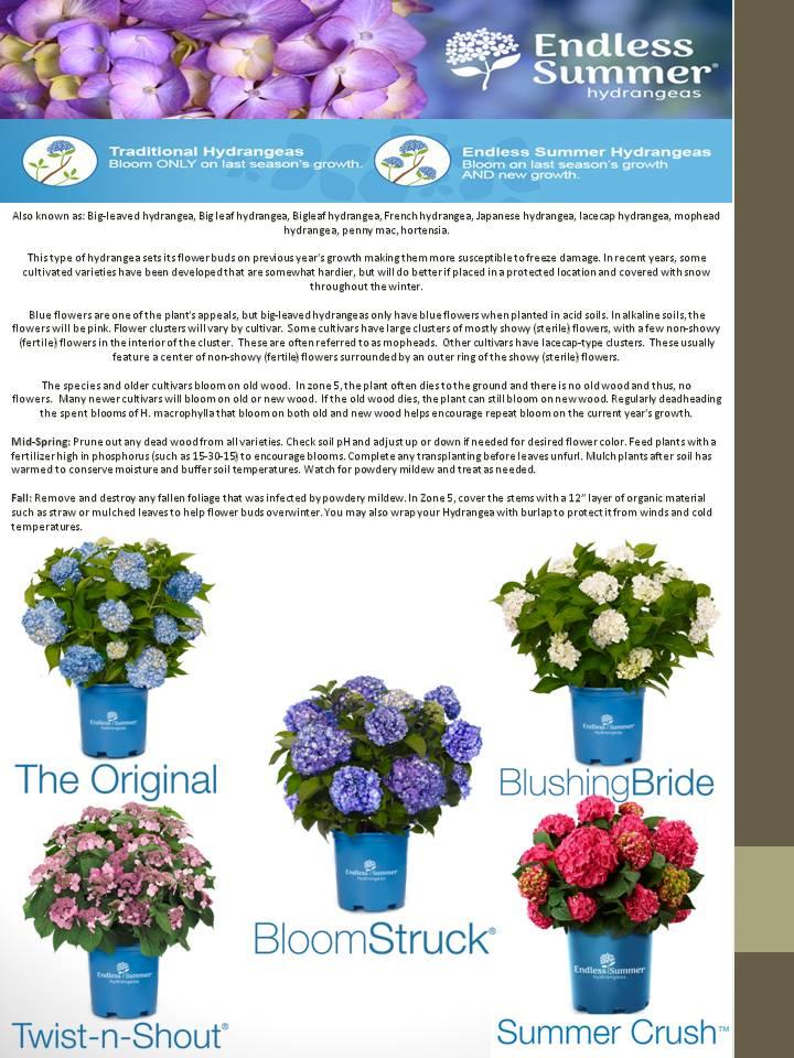 Hydrangeas- Endless Summer varieties.jpg