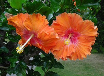 Hibiscus 1.jpg