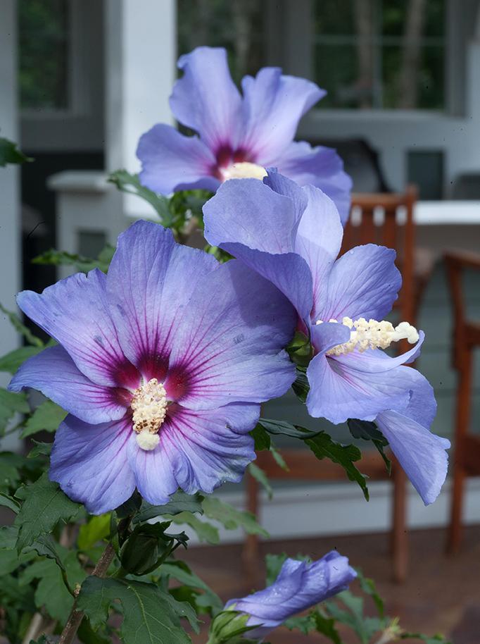 Hibiscus 5.jpg