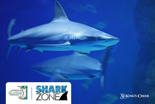 We love the @valivingmuseum! Right now you should check out their amazing Shark Zone exhibit is open daily thru Sept. 2! Brand new photographs of rarely seen sharks just joined the exhibit, and there are tons of other amazing programs that are part of the event, too. #historictriangle #museumsarefun #historyisfun #thevlm #livinghistory #williamsburg #virginia #kingscreek #family #vacation