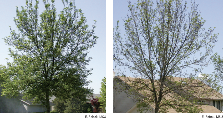 Canopy dieback is a noticeable symptom of an EAB infestation.