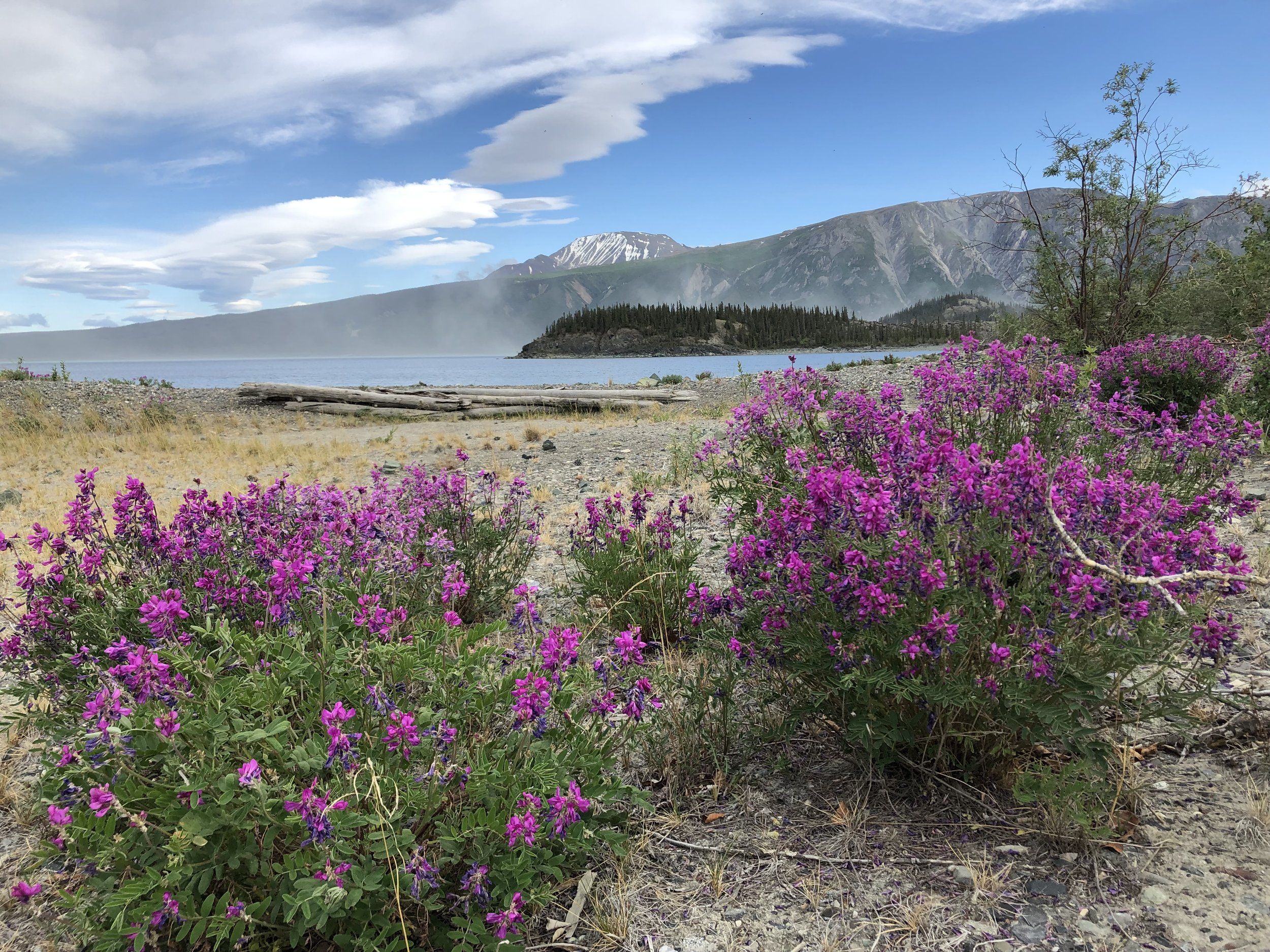 The wildflower game is on point up here, these beauties were growing by Kluane Lake in the Yukon.