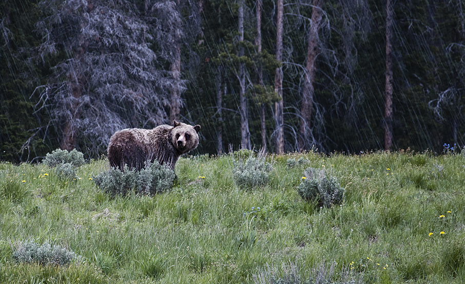 Grizzly bear just outside Yellowstone National Park