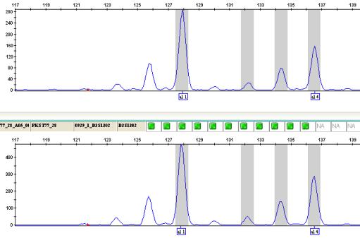 Electropherogram-representing-alleles-in-GeneMapper.png