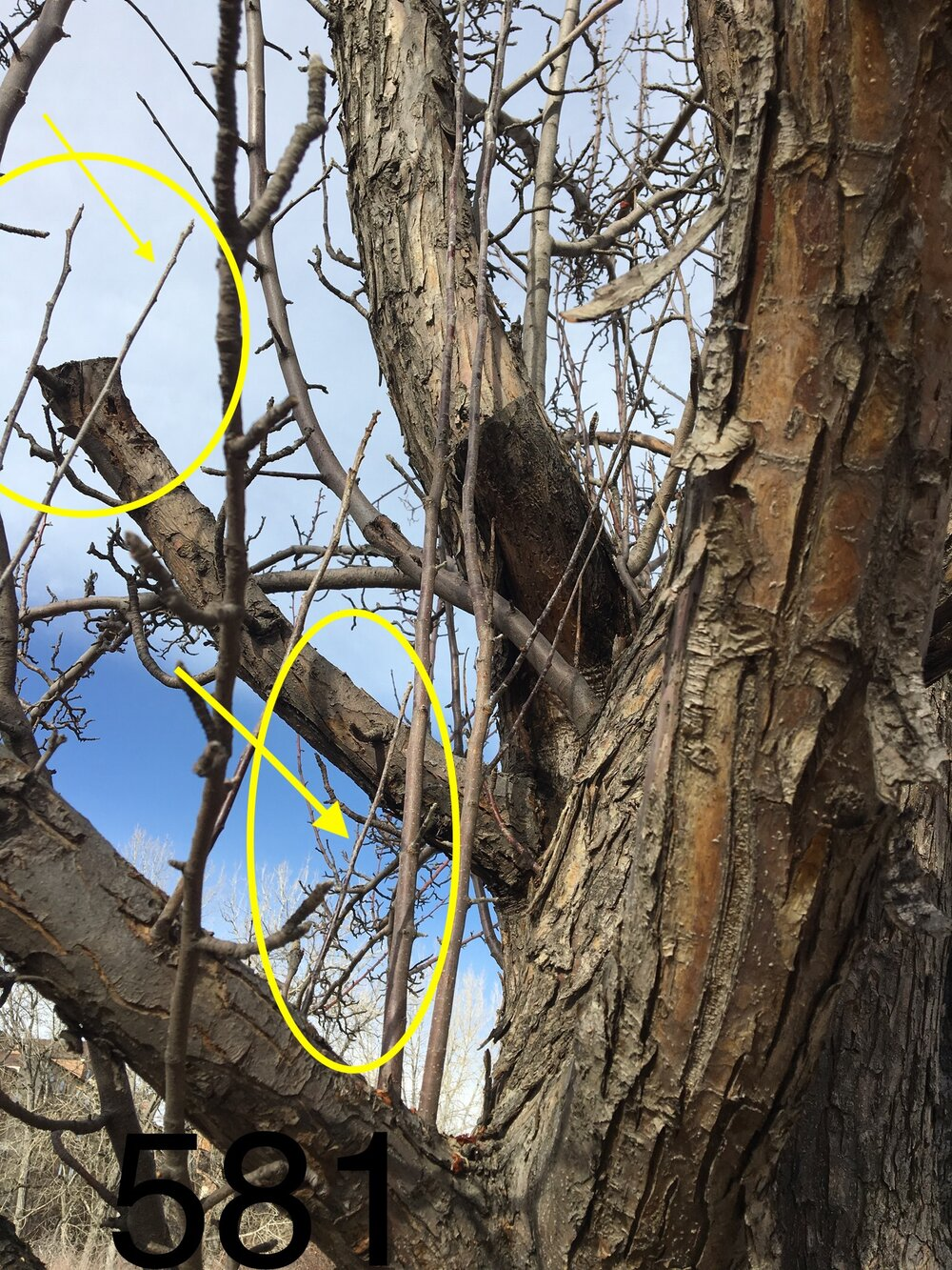 The branch growth circled in yellow make great candidates for scion material for grafting.