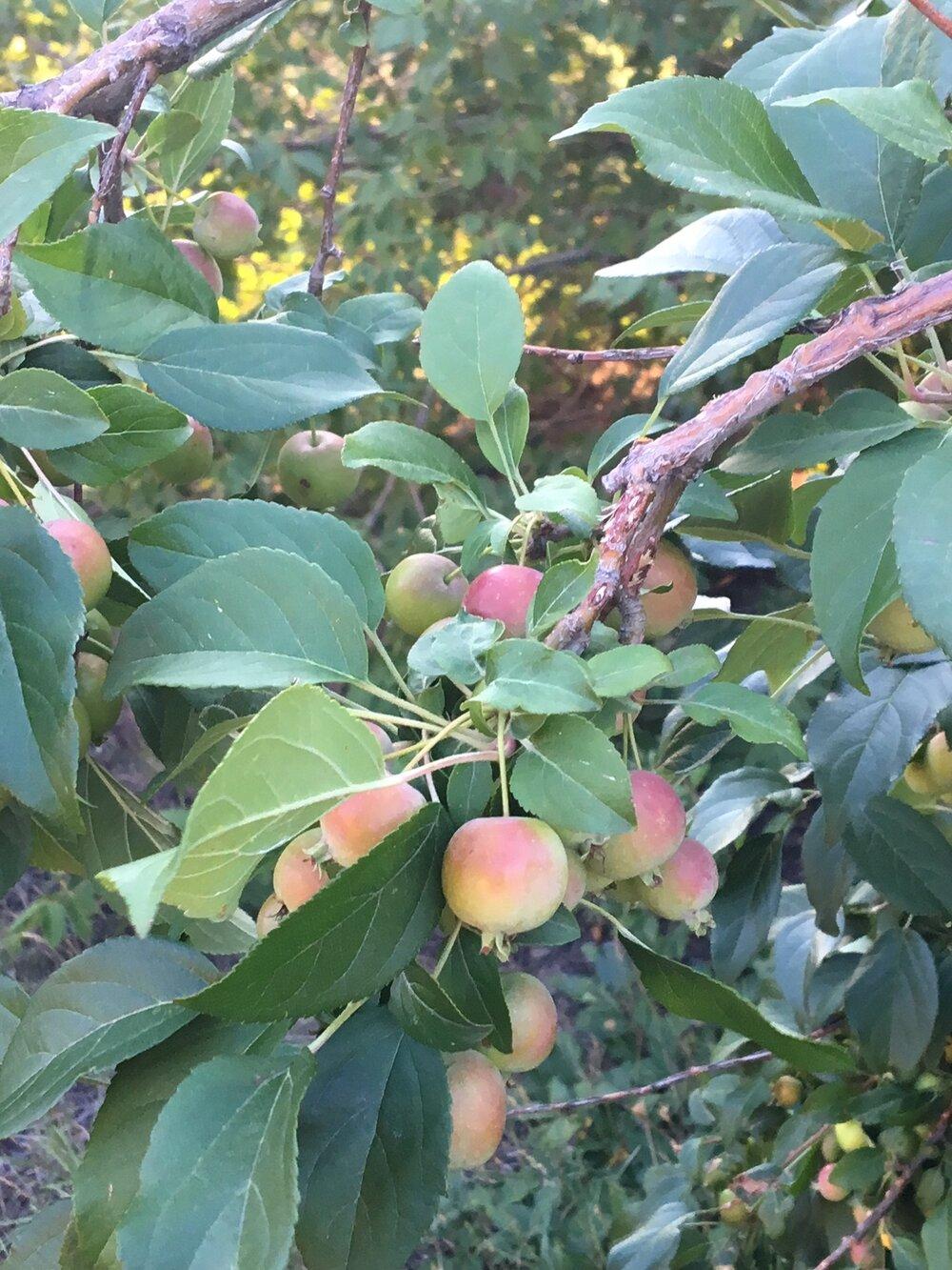 Crabapple tree visited during the AppleBlitz 2018