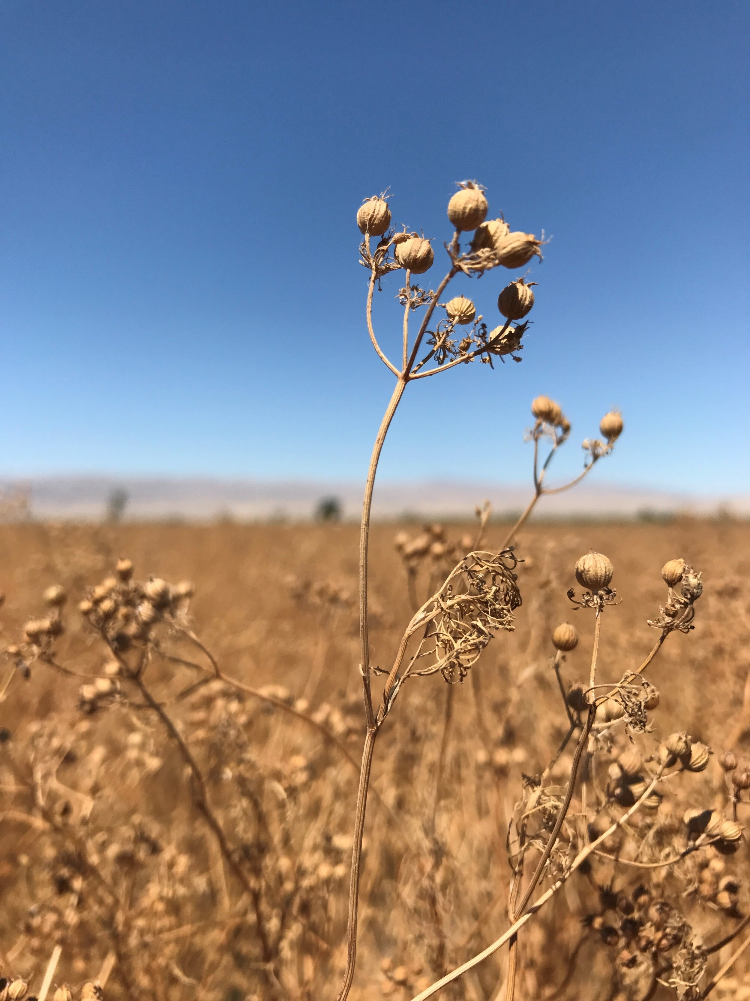 Coriander Field.jpg