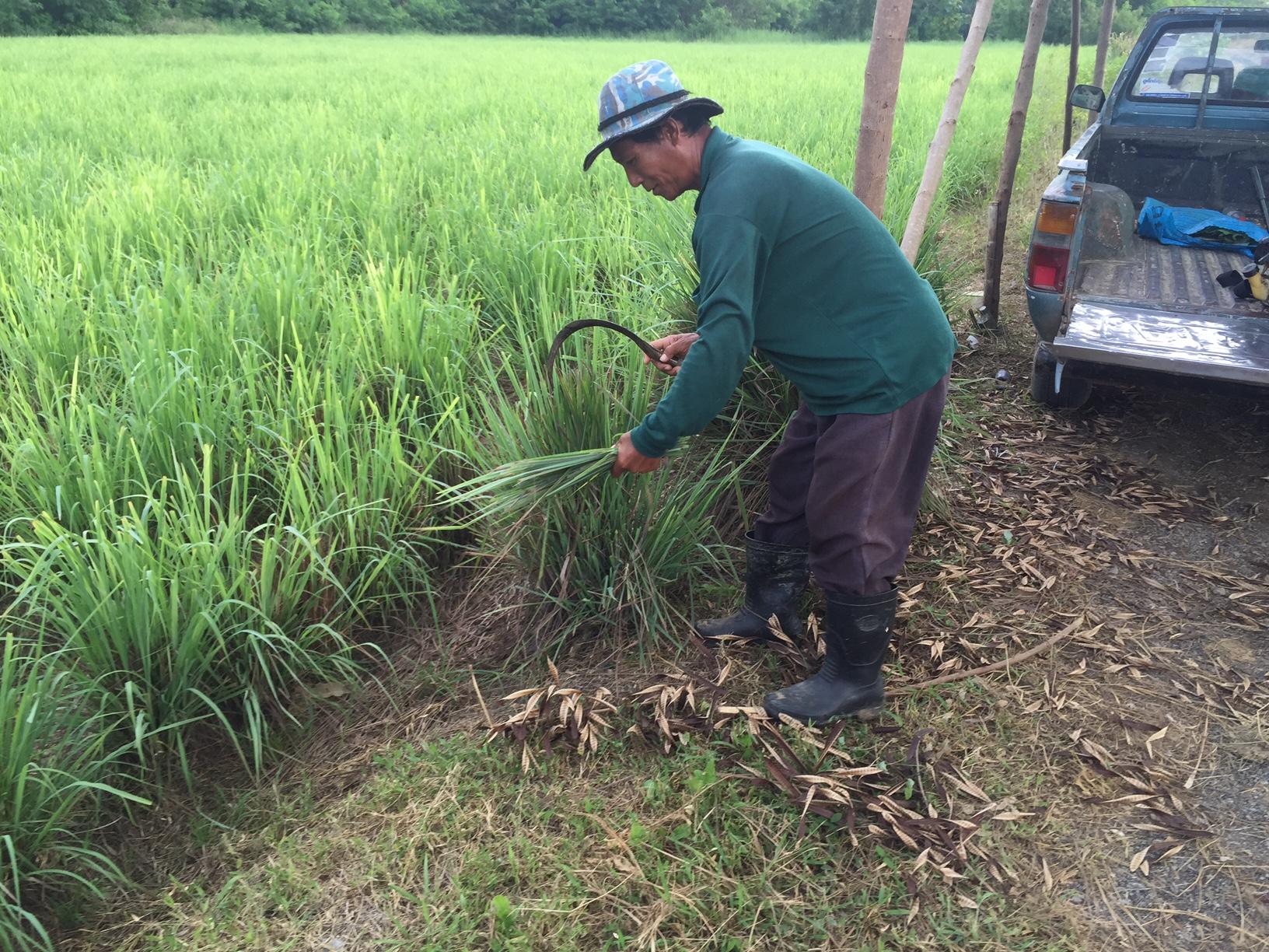 lemongrass cutting.JPG