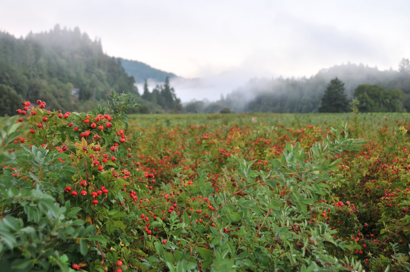 rosehips in foggy willow creek.JPG