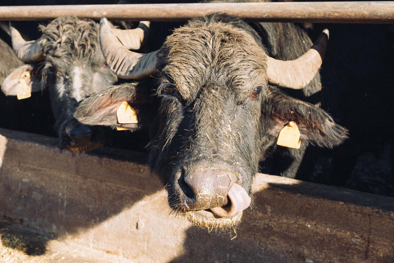 Fattoria Montelupo - Bufale in stalla 07
