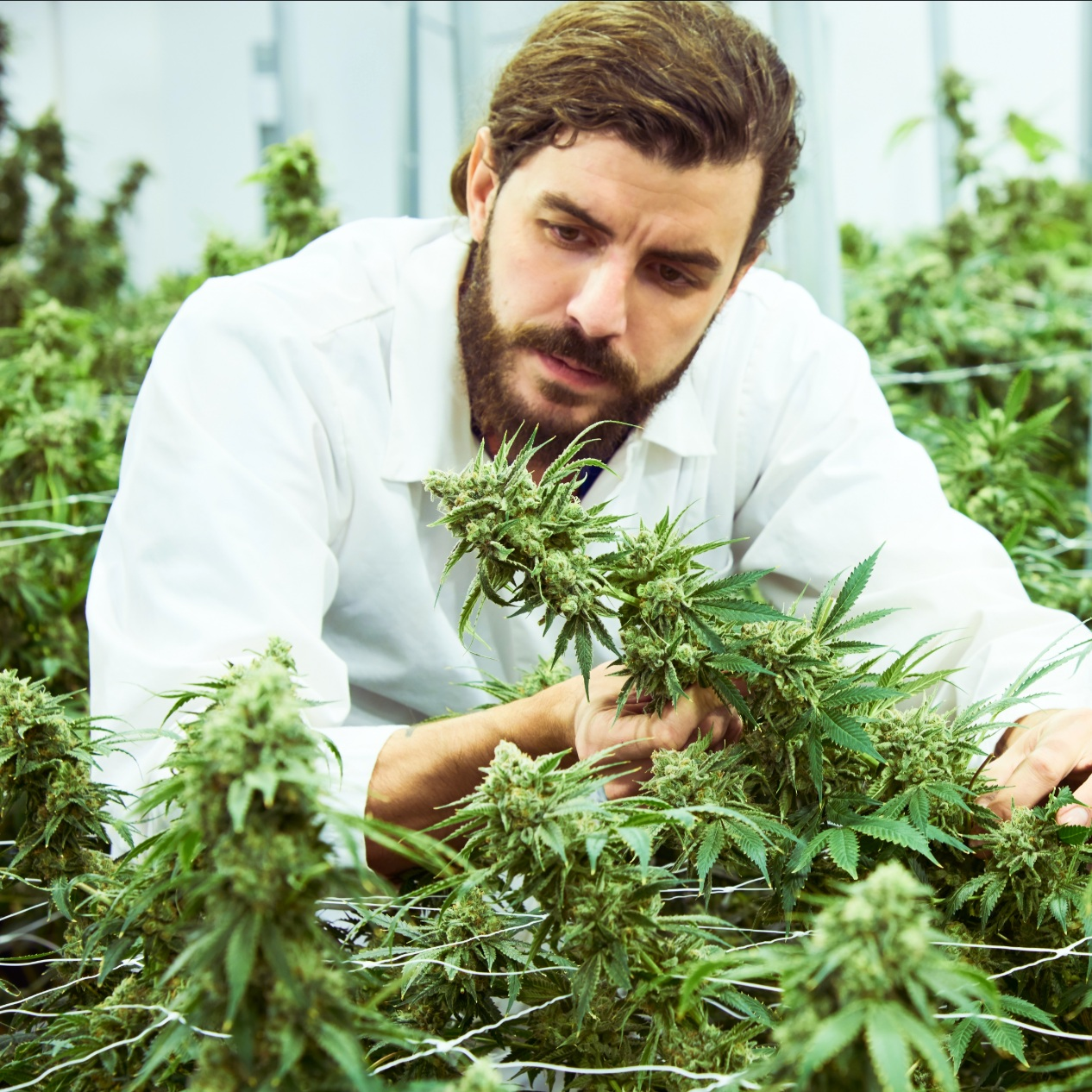 We grow state of the art but still use organics. We dry and cure like pros. We hand harvest and hand trim.