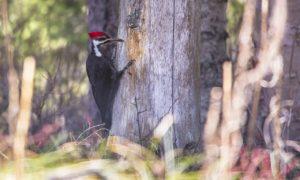 pileated-woodpecker-977085_1280-300x180.jpg