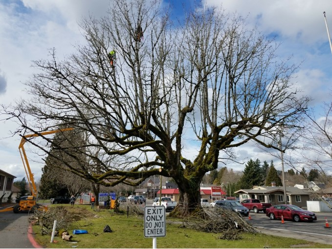 Helping preserve a Heritage Tree.