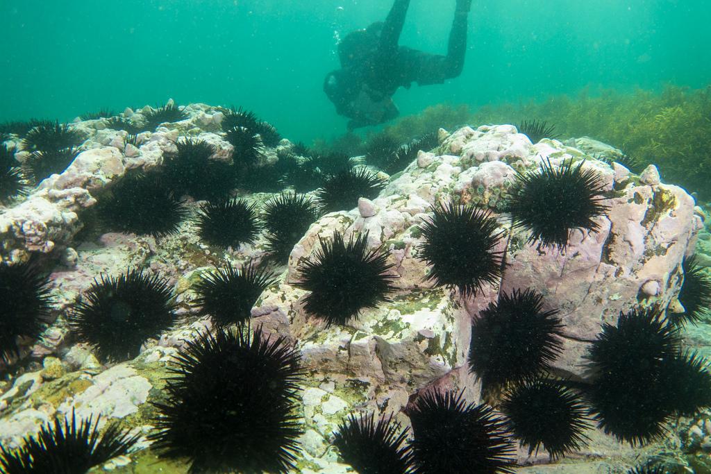 Urchin barrens create underwater deserts devoid of other marine life (image courtesy of John Turnbull)