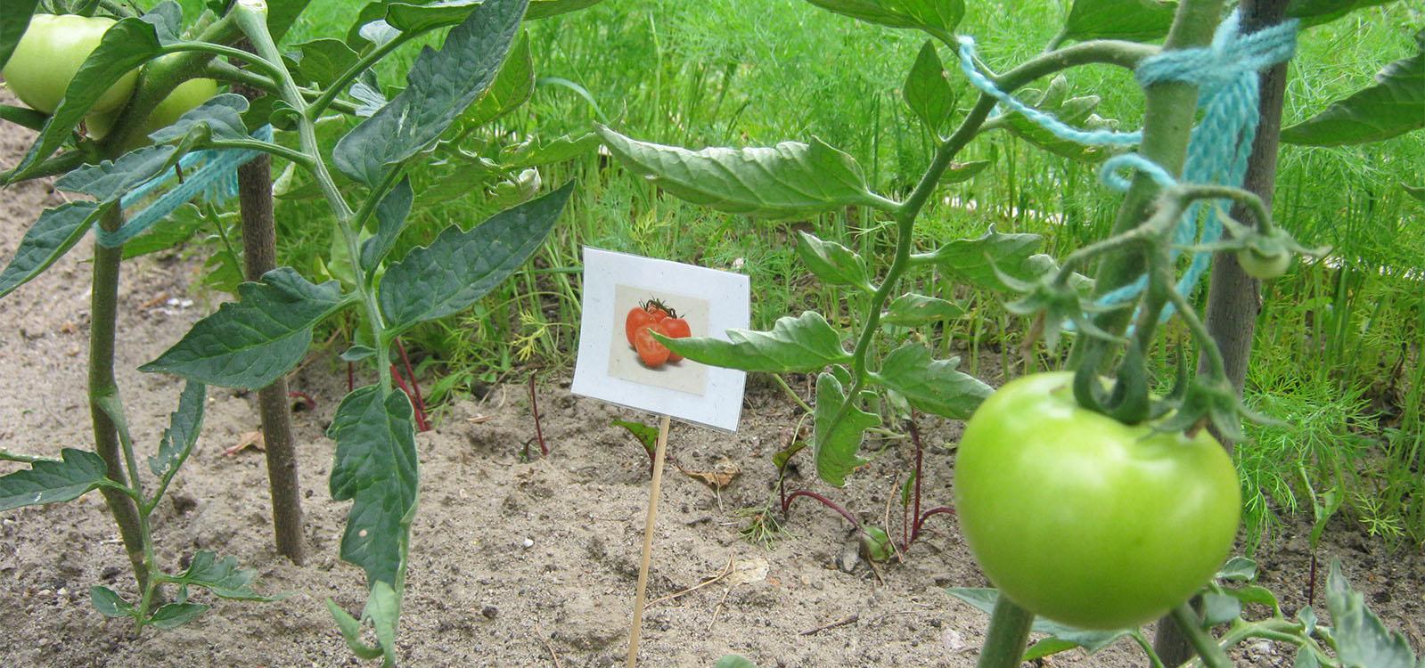 EKOLUDEK_Niepubliczne_przedszkole_ekologiczne_Lodz_Pomidory.jpg