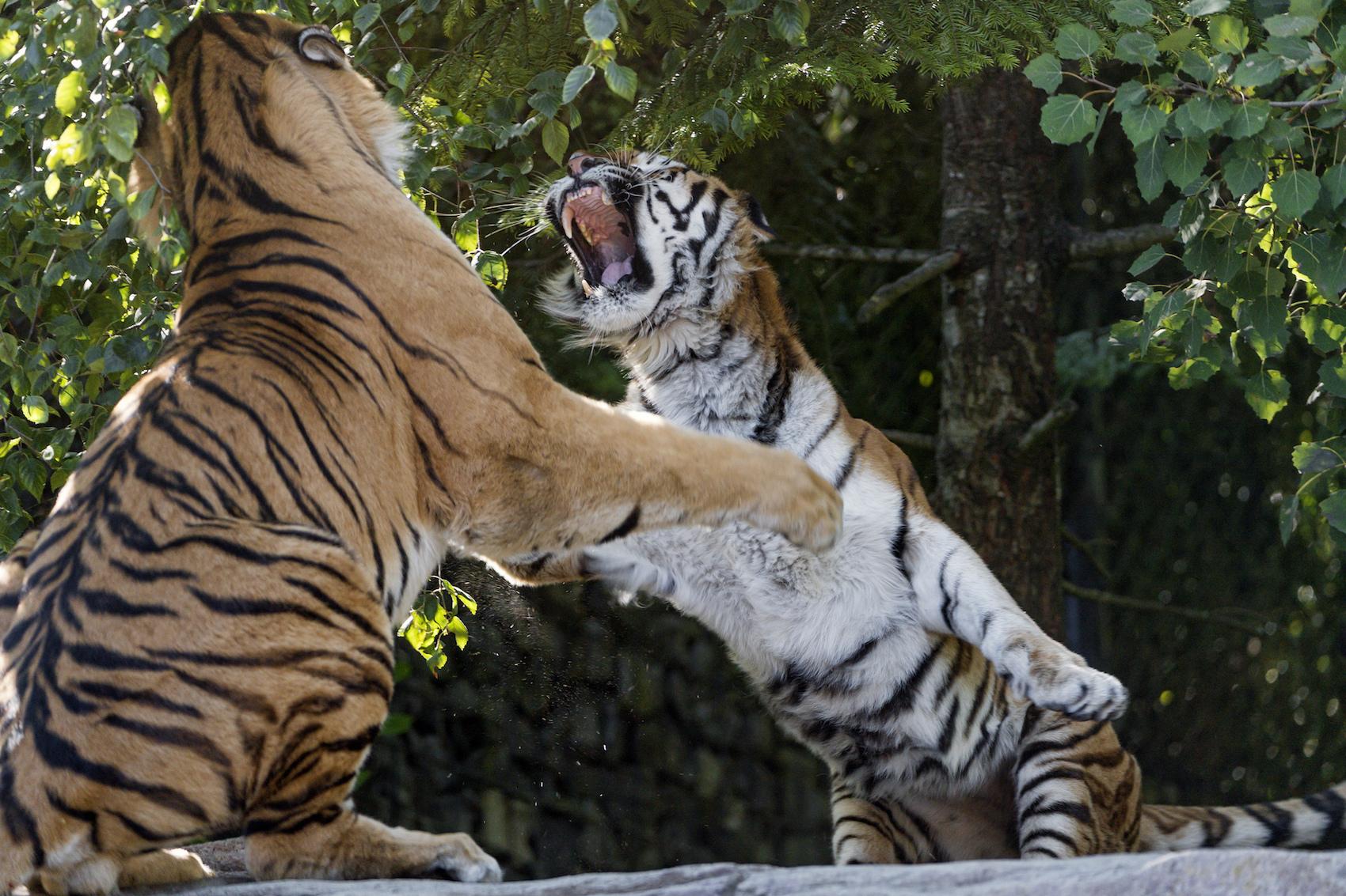 Tigers .jpg