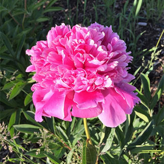 Alexander Fleming - D E T A I L SLimited quantities available.Petals: DoubleColor: PinkAroma: Fragrant