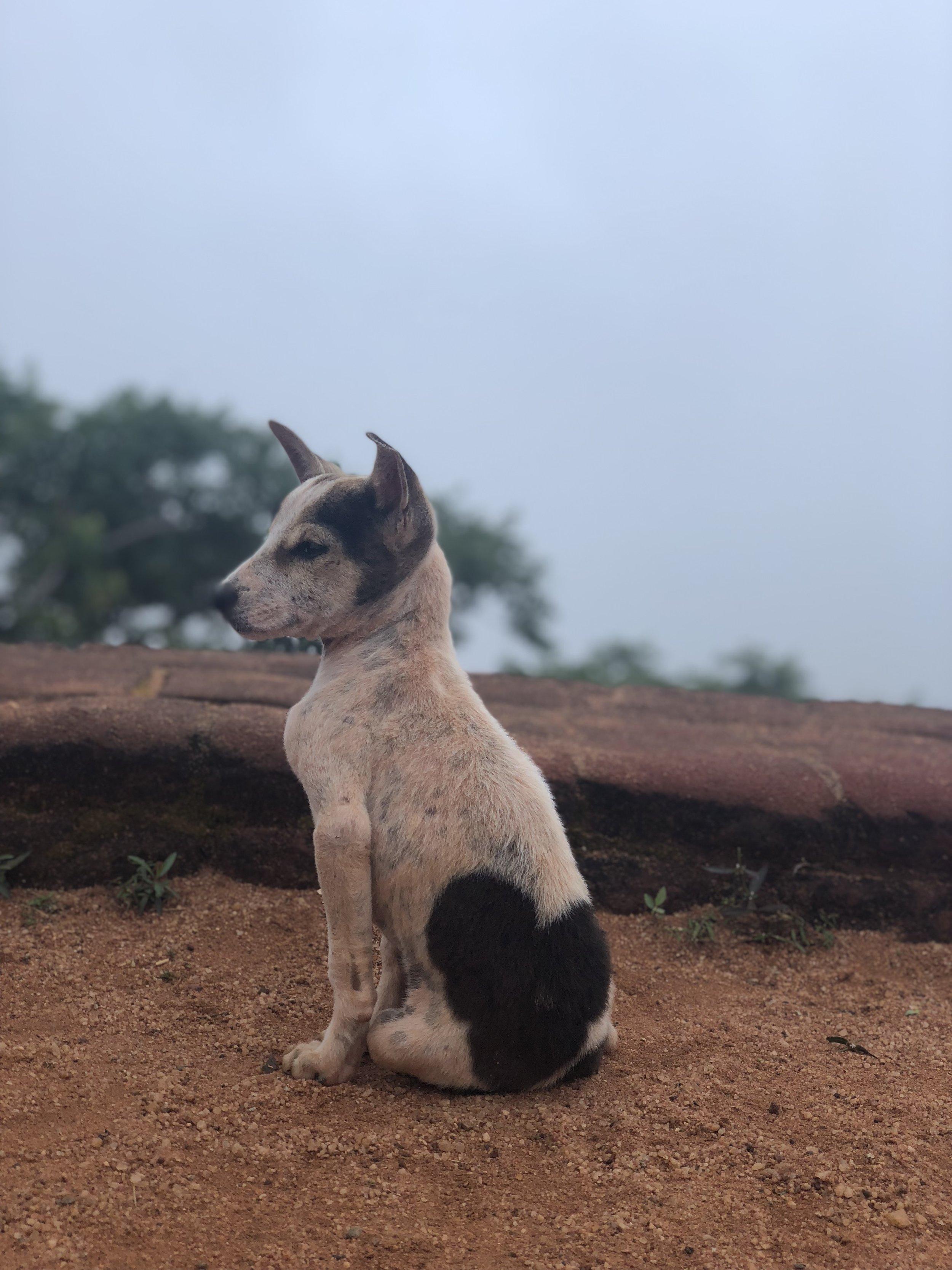 Dog-on-Lions-rock-Sri-Lanka