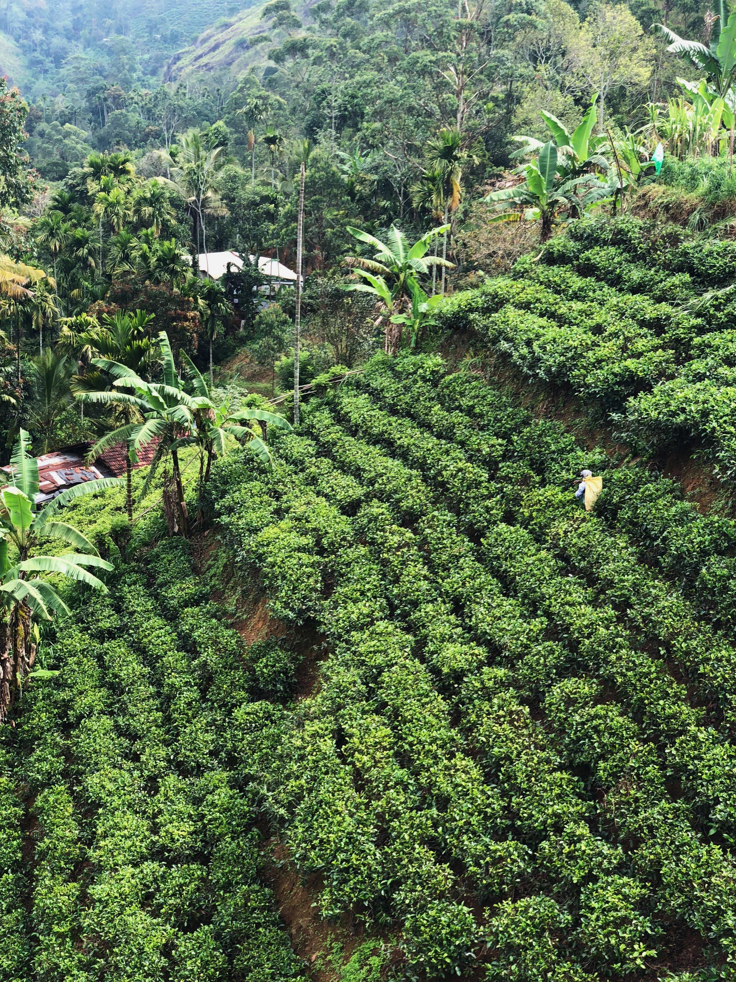 Hills-of-tea-leaves-Ella-Sri-Lanka