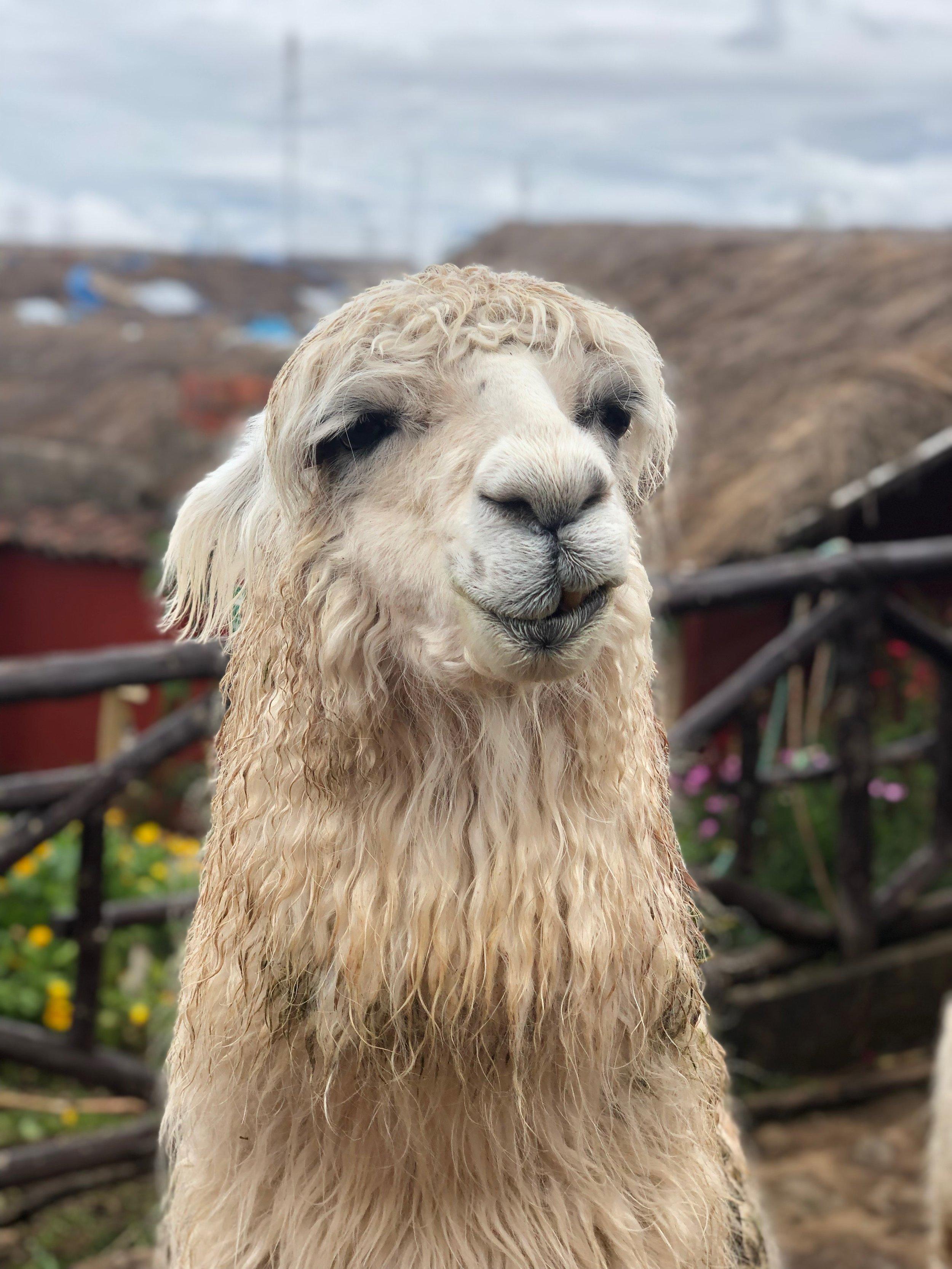 Alpaca-sacred-valley-peru-cusco-travel-tips-travel-itinerary