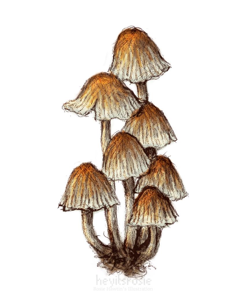 Fairy Inkcap Mushroom
