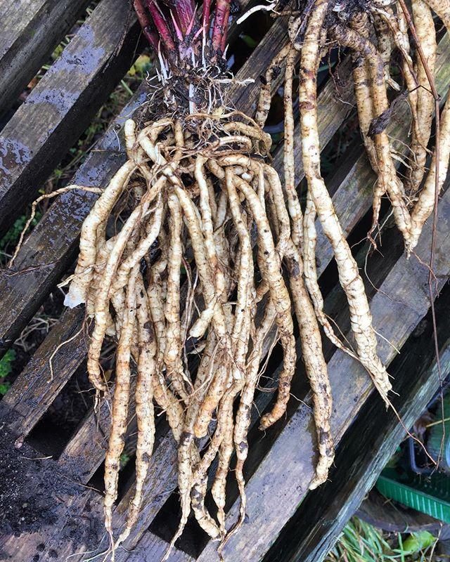 Sockerrot. Första skörden. En hel del av rötterna åker ner i jorden igen men några hamnade i dagens wok. #sockerrot #permakultur #skogsträdgård