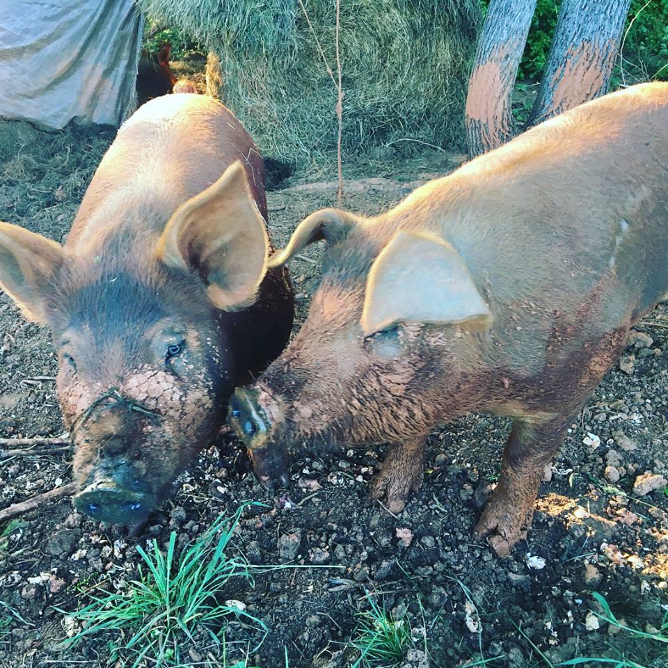 Tyler  Case - pigs.jpg