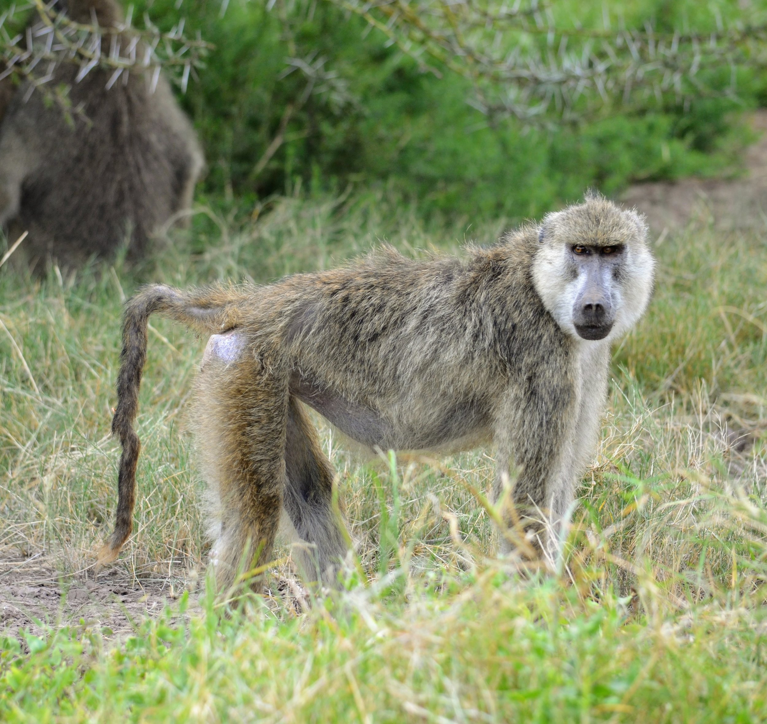 A very old female baboon standing on the savannah.