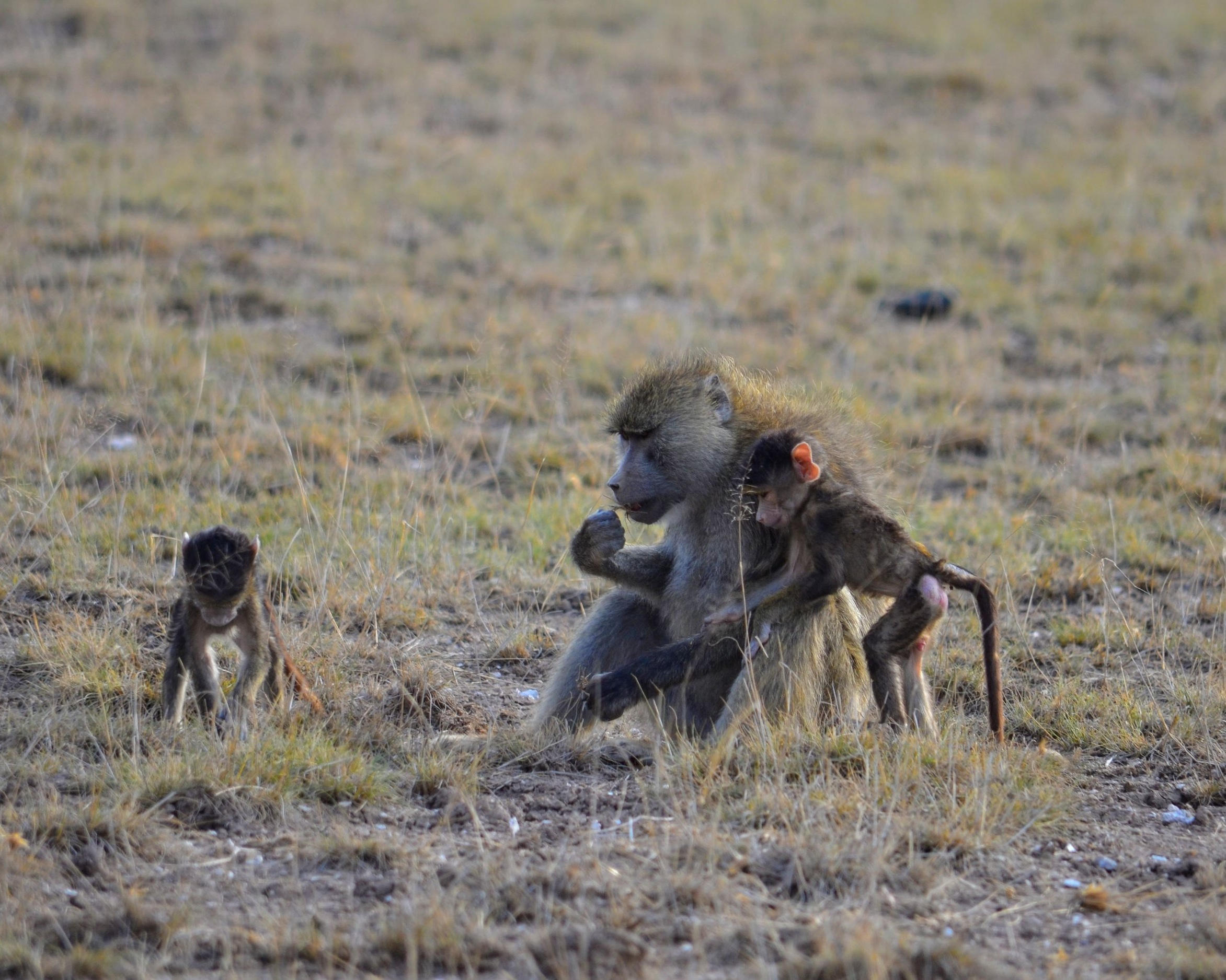 A female baboon eating grass on the savannah with two juvenile baboons.