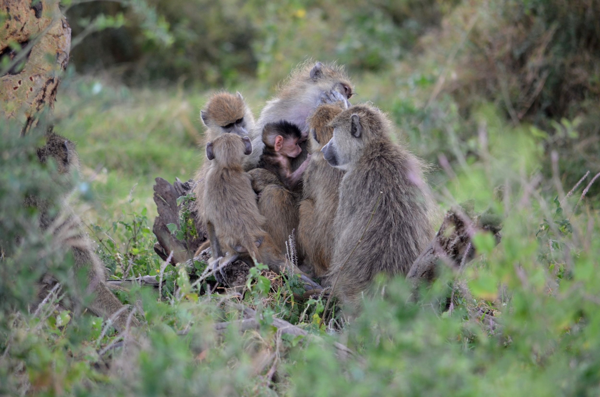 A group of baboons surrounding a very young infant baboons.
