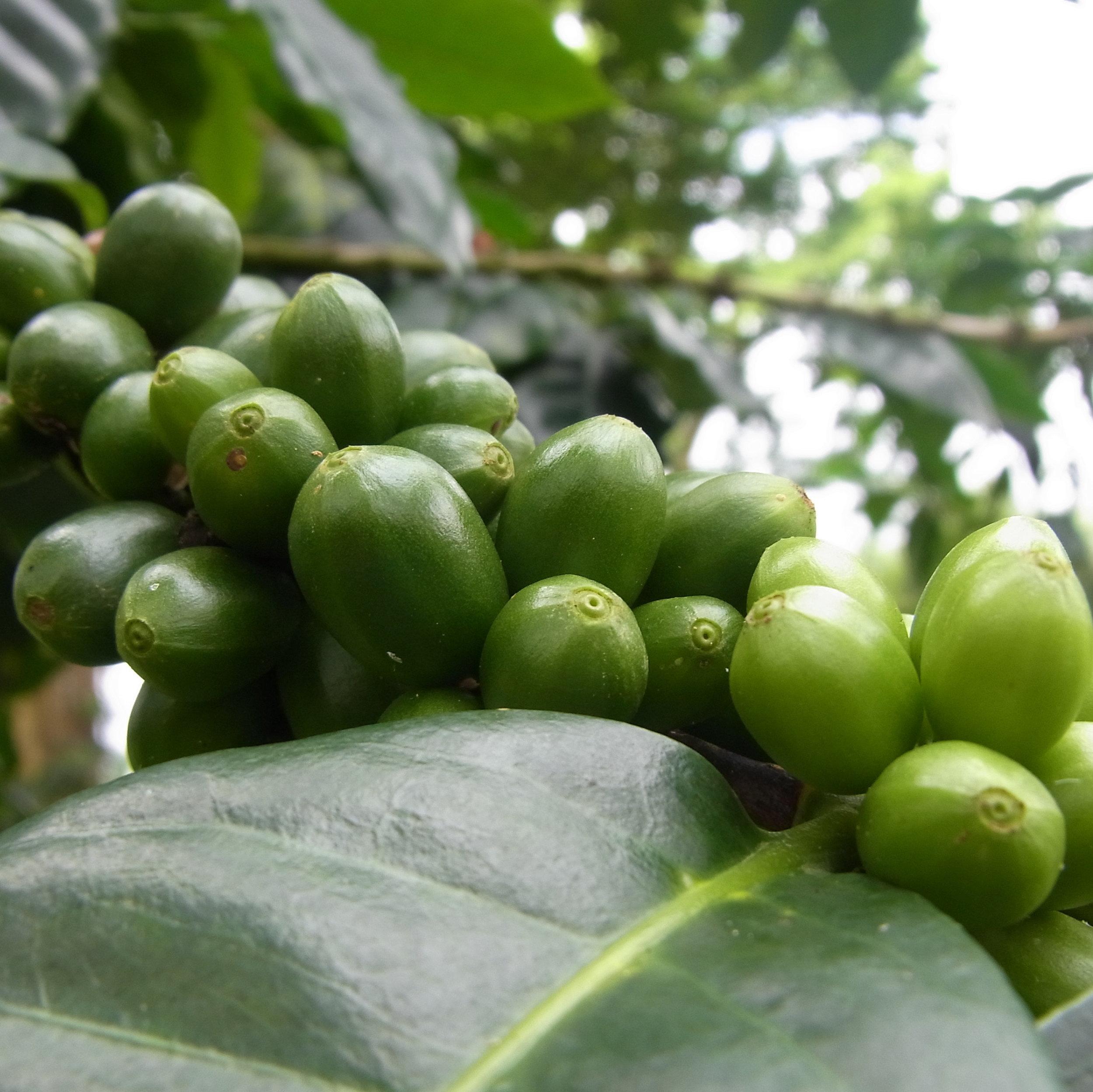 Fruits verts en grappe.JPG
