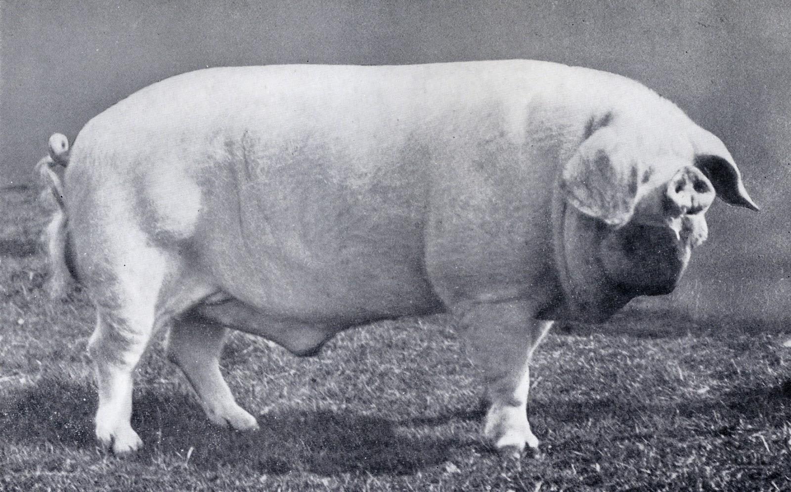 cumberland pig.jpg