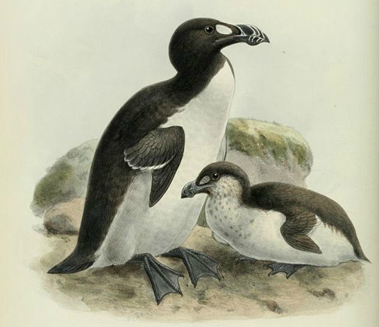 great auk and baby auk.png