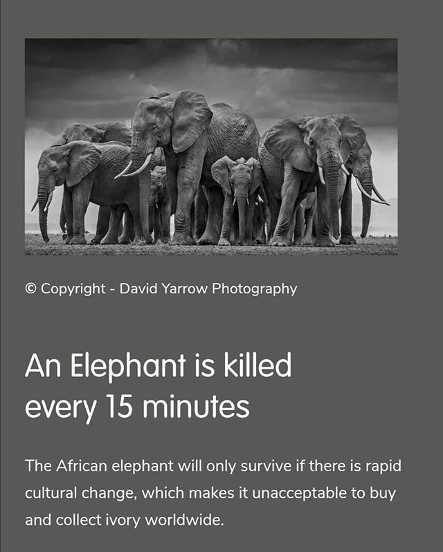 An Elephant is killed every 15 minutes.  If we don't act now elephants will not be around when today's children turn into adults.  Let's make sure we prevent this from happening. Follow the link in our bio to find out more.  #conservation #protectelephants #saynotoivory #endillegalwildlifecrime #standtogether #elephants #elephant #tale2tail