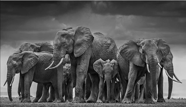 The Circle of Life by @davidyarrow - one of the most talented and daring wildlife photographers in the world.  Do we really want to deny our children and the next generation to enjoy elephants in the wild? The time to act is now. End wildlife crime. Save endangered species. Say no to ivory.  #EndWildlifeCrime #educatetoenddemand #tale2tail #teachers #resources #teachersresources #conservation #elephants #elephant #saynotoivory #endillegalwildlifecrime #standtogether #elephants #elephant #T2T