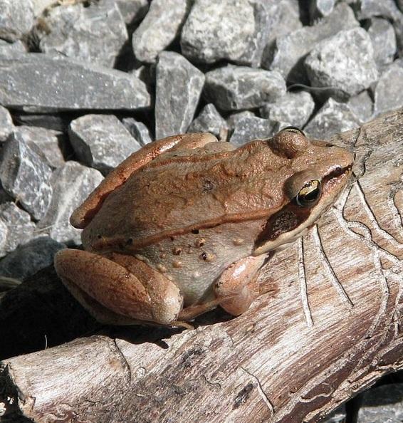 wood-frog-1506472_960_720.jpg