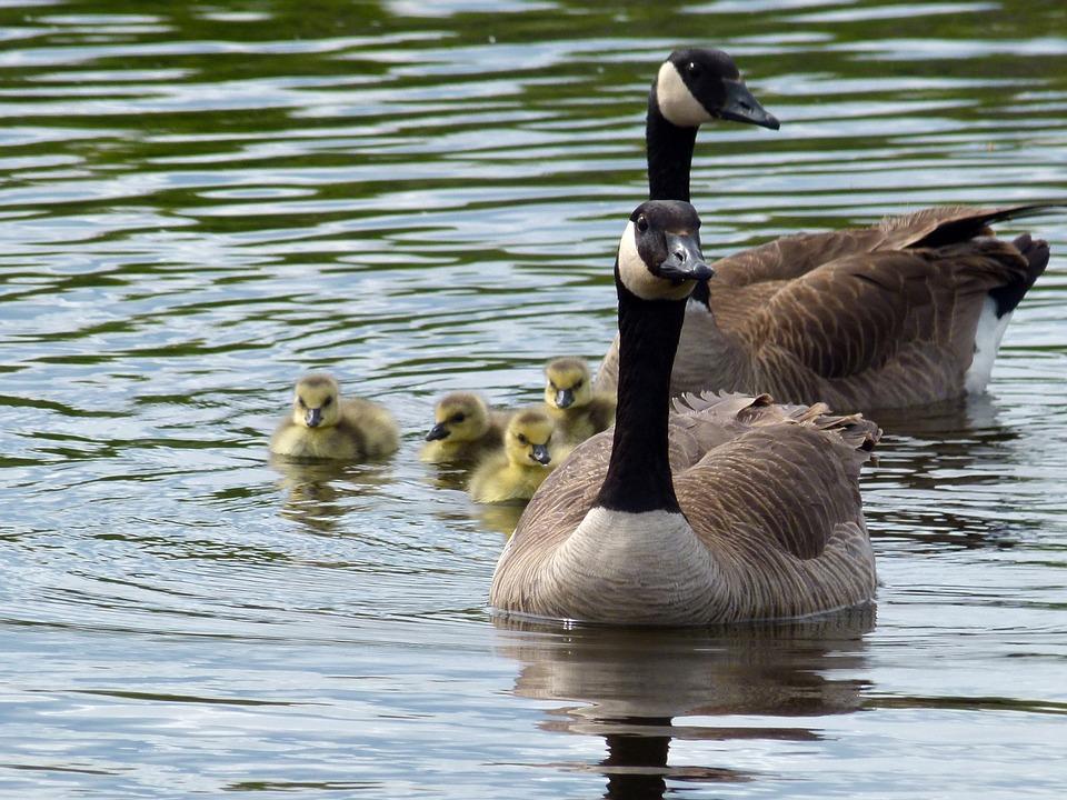 canada-geese-123031_960_720.jpg
