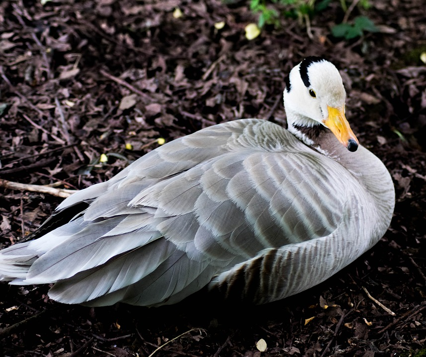 bar-headed-goose-2375024_960_720.jpg