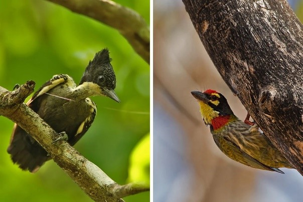 Left: Heart-spotted woodpecker, Ramki S.  Right: Coppersmith barbet bangalore, Shashank Dalvi  Two species of woodpeckers that have been affected by poor coffee farming practices.  Photo source: New York Times