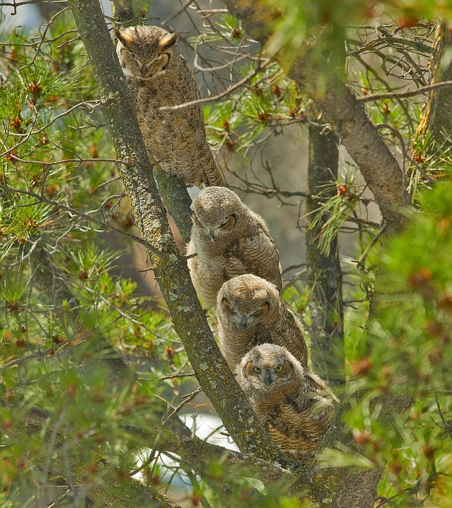 great-horned-owls-1591288_960_720.jpg