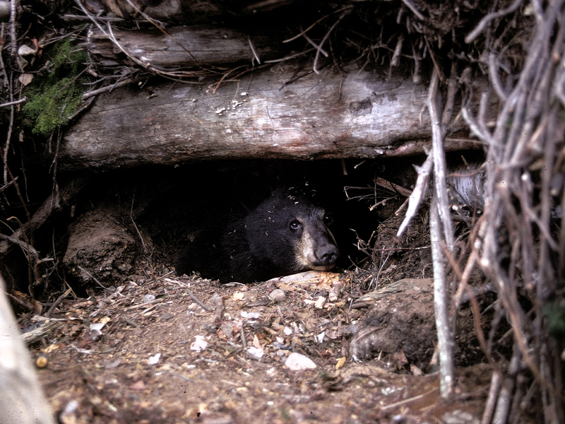 A yearling black bear in its den.
