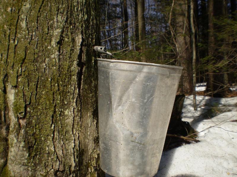 A Maple Sugar Tap